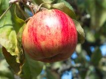 Красное яблоко с расплывчатой предпосылкой стоковое фото rf