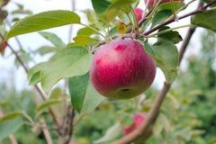 Красное яблоко в дереве paulared свежий органический сад лета плодоовощ Стоковые Изображения RF