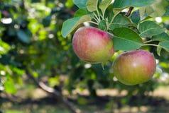 Красное яблоко в дереве paulared свежий органический сад лета плодоовощ Стоковая Фотография RF