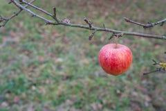 Красное яблоко в ноябре на ветви Стоковое фото RF