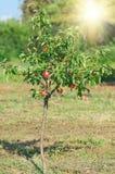 Красное яблоко на ветви Предыдущий сбор осени Стоковые Изображения RF