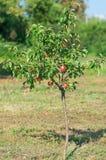Красное яблоко на ветви Предыдущий сбор осени Стоковые Изображения