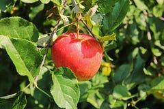 Красное яблоко на ветви яблони Стоковая Фотография