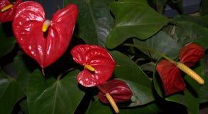 Красное Anthiriums Стоковые Изображения