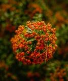 Красное arround ягод боярышника стоковое изображение rf