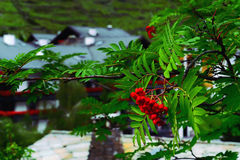 Красное Ashberries зрея на ветви дерева рябины Стоковая Фотография RF