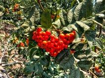 Красное ashberry с зелеными листьями Стоковые Фото