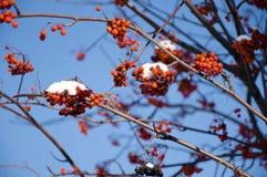 Красное ashberry с снегом на голубом небе Стоковые Фотографии RF