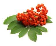 Красное ashberry Стоковые Фотографии RF