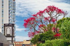 Красное blossoming дерево в городе Ponta Delgada, Азорских островах, Португалии Стоковое Изображение RF