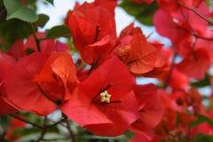 Красное Bougainvillas Стоковое Изображение RF