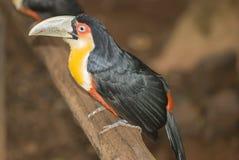 Красное-breasted Toucan Стоковое фото RF