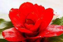 Красное bromeliad Стоковая Фотография