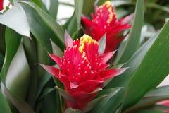 Красное bromeliad Стоковое Изображение RF