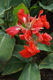 Красное canna цветения Стоковые Изображения