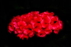 Красное Cockscomb на черной предпосылке Стоковая Фотография RF