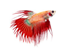 Красное Crowntail Стоковые Изображения RF