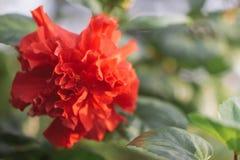 Красное flowerHibicus chaba Стоковая Фотография RF