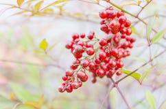 Красное friut Стоковые Изображения