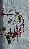 Красное Fuschia против стены коттеджа, остров Iona, Шотландии Стоковые Фото
