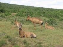 Красное hartebeest в парке Kgalagadi Transfrontier, Южная Африка Стоковое фото RF
