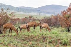 Красное hartebeest: Caama buselaphus Alcelaphus Стоковые Изображения