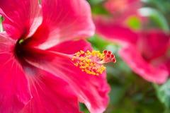 Красное hibiskus стоковая фотография rf
