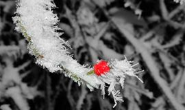 Красное hipberry стоковые изображения rf