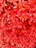 Красное Ixora в саде Стоковые Фото