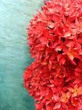 Красное Ixora в саде Стоковая Фотография