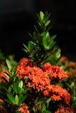 Красное Ixora Стоковое фото RF