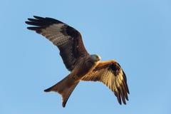 Красное milvus летая milvus змея с голубым небом Стоковые Фото