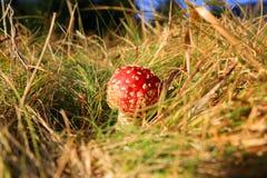 Красное muasroom мухы пластинчатого гриба Стоковая Фотография