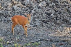 Красное Muntjac в лесе Стоковое Изображение RF