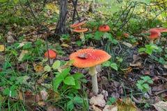Красное muscaria мухомора гриба Стоковые Фотографии RF