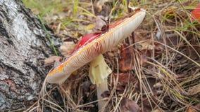 Красное muscaria мухомора гриба Стоковые Изображения