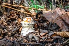 Красное muscaria мухомора гриба Стоковое Фото