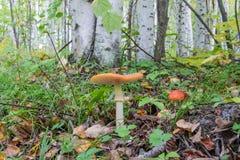 Красное muscaria мухомора гриба Стоковые Фото