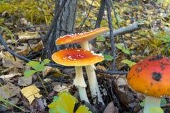 Красное muscaria мухомора гриба Стоковое фото RF