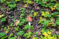Красное muscaria мухомора гриба Стоковая Фотография RF
