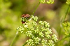 Красное Netteroptera в зеленых цветках Стоковые Фото
