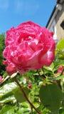 Красное peonia Стоковое Изображение