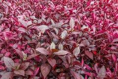 Красное poinesettia Стоковые Изображения RF