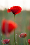 Красное Poppie Стоковая Фотография