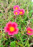 Красное portulaca grandiflora Стоковые Фото