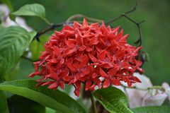Красное rangon Стоковое Фото