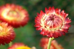 Красное suhoveyki стоковая фотография