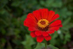 Красное tsiniya в зеленом саде Стоковая Фотография