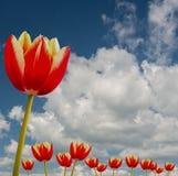 Красное tulipan Стоковые Фотографии RF