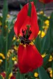 Красное tulips-5 Стоковое Изображение